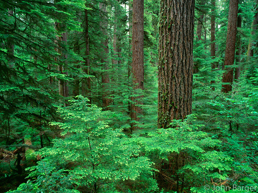 67ORCAC_008 - USA, Oregon, Willamette National Forest, Middle Santiam Wilderness, Douglas fir giants rise above western hemlock saplings in old-growth forest.