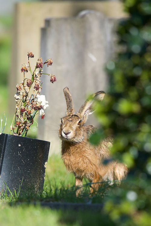 Brown hare eating a pot plant at a cemetery in the North West of England