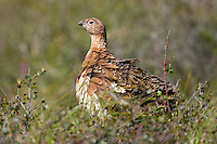 Willow ptarmigan, Denali National Park, interior, Alaska.