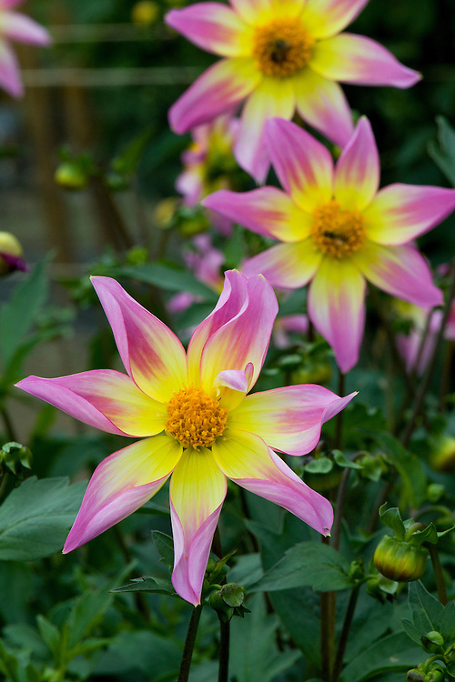 Dahlia 'Trelyn Seren', early September.