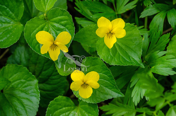 Yellow Violet or stream violet or pioneer violet (Viola glabella).  Cascade Mountains, WA.  May.