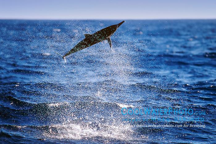 spinner dolphin calf, leaping, Stenella longirostris, Kona, Big Island, Hawaii, Pacific Ocean