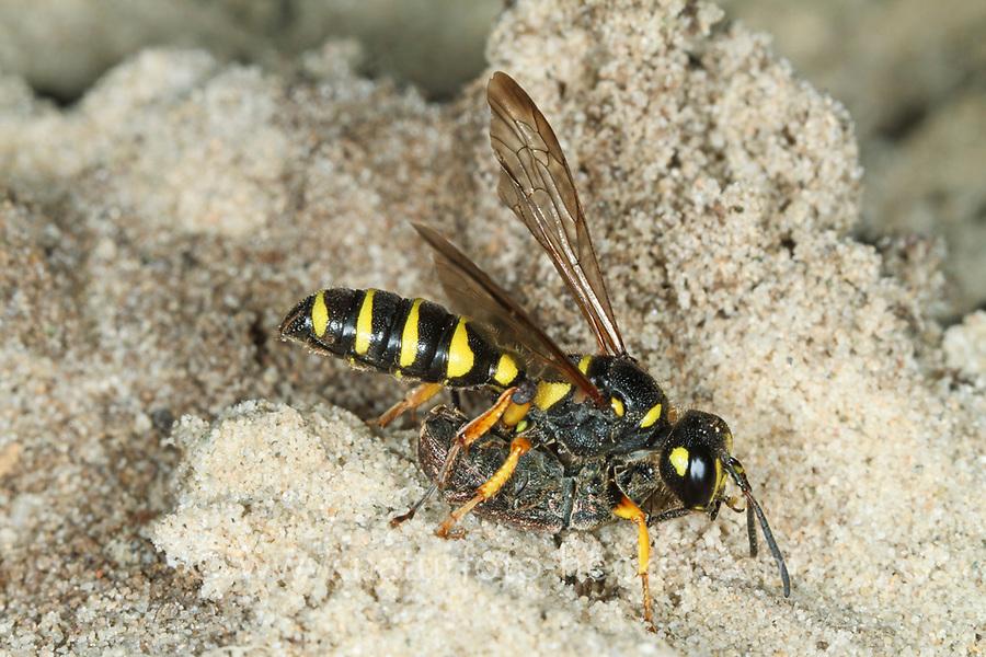 Sandknotenwespe, Sand-Knotenwespe, mit Käfer, Rüsselkäfer als Beute, Cerceris arenaria, Sand Tailed Digger Wasp, Crabronidae