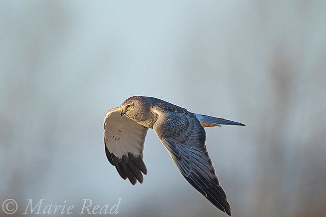 Northern Harrier (Circus cyaneus) male in flight, near Aurora, New York, USA
