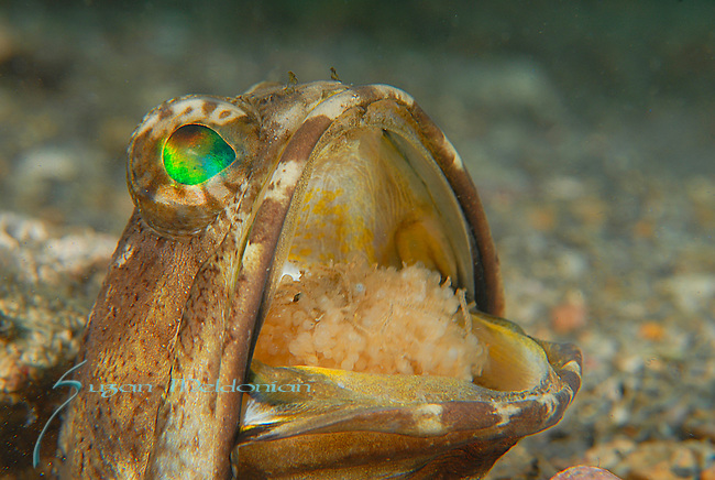 Male Banded Jawfish with Eggs