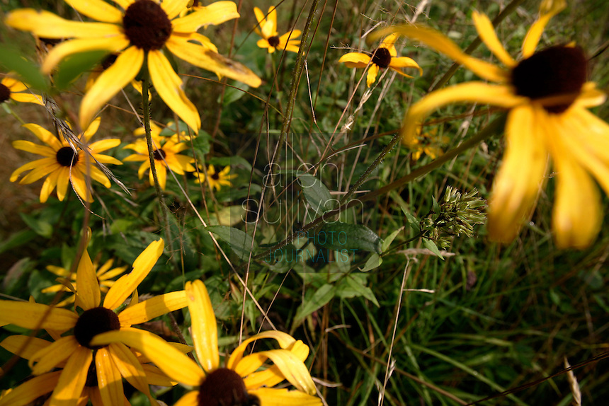 Daisies on Kettlerock Mountain, near Highlands, North Carolina.<br />
