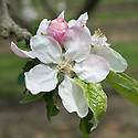 "Blossom of Apple 'Mannington's Pearmain', early May. An English dessert apple ... ""arose c. 1770 from cider pomace thrown under hedge in garden of blacksmith, Mr Turley, Uckfield, Sussex. Sent 1847 to London Hort Soc by his grandson, John Mannington, local butcher and keen fruit man. Rich, aromatic, not intensely so, but well balanced with definite nutty quality. Esteemed by Victorians."" (The New Book of Apples by Joan Morgan and Alison Richards)"