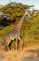 Adult giraffe, Grumeti, Tanzania