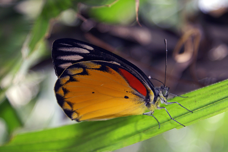 a Red Spot Jezebel with partially closed wings sitting on a green stem in a garden in Thailand. The bright gold of the underwing highlighted by the brigh red band makes a eyecatching photo.