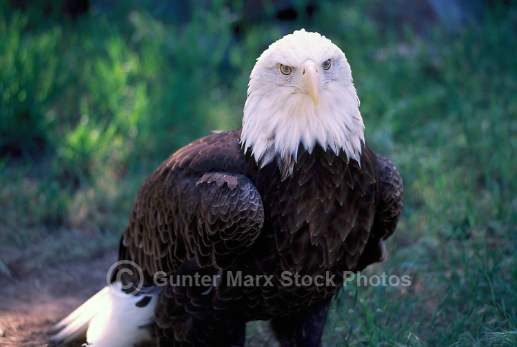 Mature Adult Bald Eagle (Haliaeetus leucocephalus)