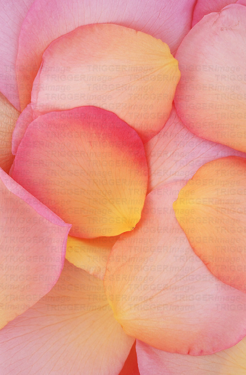 Golden yellow and pale and deep pink petals of Rose or Rosa Lovely Lady lying in a heap