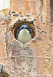 Tree Swallow (Tachycineta bicolor), looking out of its nest hole in a Quaking Aspen (Populus tremuloides) trunk, Mono Lake Basin, California, USA