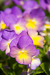 White Flower Farm. Viola 'Starry Night'