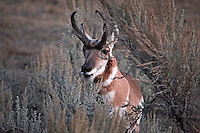 Pronghorn buck. Nice and sharp.  Do you have room to crop it so that he is just a bit more to the right?