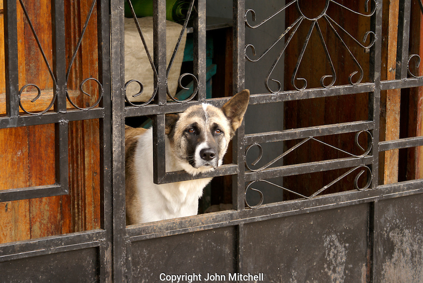 Dog looking out through a barred gate of a house in the village of Ataco in western El Salvador