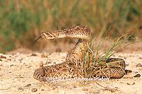 02905-00310 Western Diamondback Rattlesnake (Crotalus atrox) Starr Co. TX