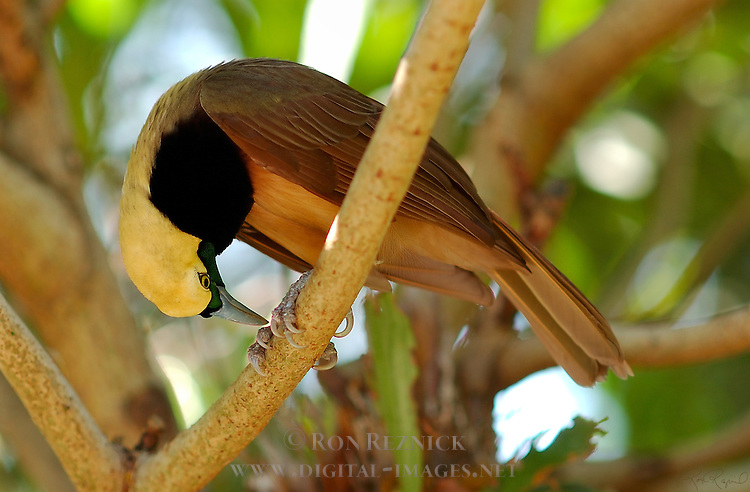 Bird of Paradise I Have Feet Empress of Germany Bird of Paradise Young Male