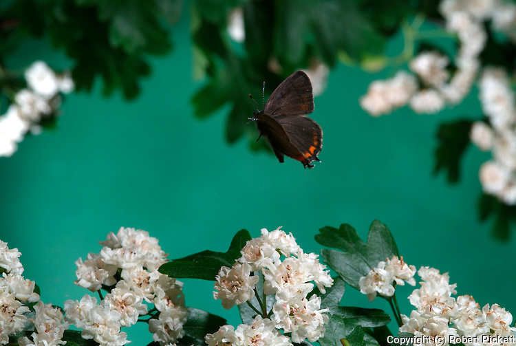Black Hairstreak Butterfly, Strymonidia pruni, in flight, free flying over flowering hawthorn bush, high speed photographic technique.United Kingdom....