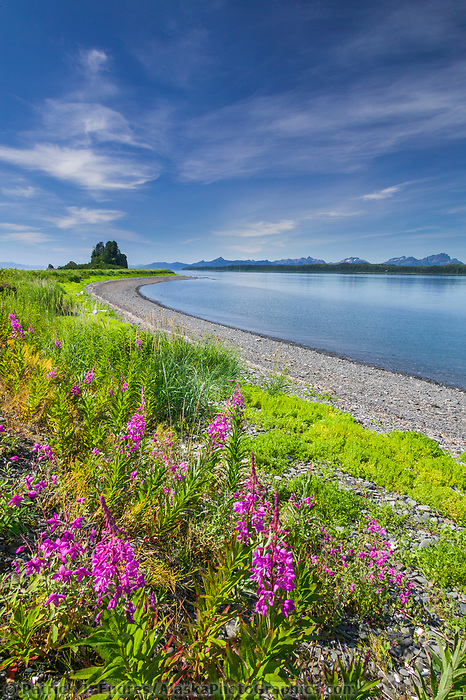 Summer landscape of the rich green grass and pink blossoming fireweed on Channel Island, Montague straits, Prince William Sound, Alaska