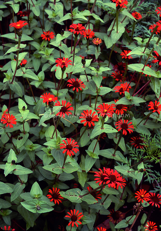 Zinnia tenuifolia, species zinnias in hot red orange color