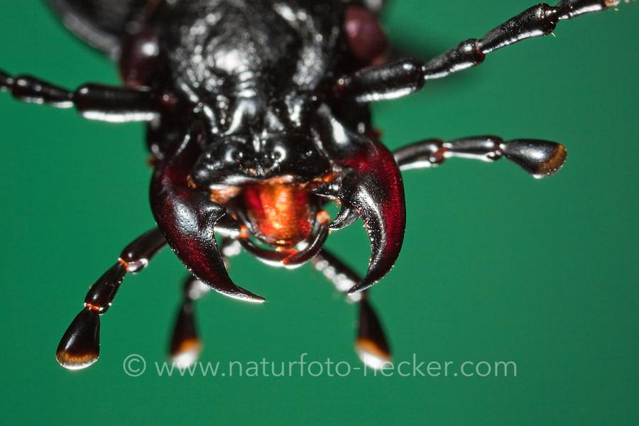 Mundwerkzeuge von Insekten - Images | Naturfoto Frank Hecker