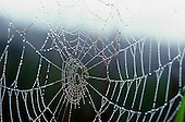 Morning Dew on Cobweb