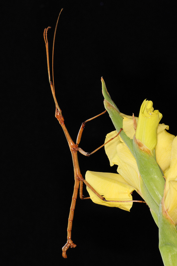 "The Northern Walkingstick is our most common ""stick insect,"" which camouflages itself to look like a stick."