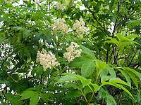 Elderberry Tree (Sambucus)