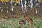 White-tailed deer (Odocoileus virginianus) on hind legs sparring