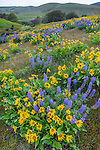 Columbia Hills State Park, Washington:<br />  Lupine and balsam root blooming in the folded hillsides of the Columbia Hills above the Columbia River National Scenic Area