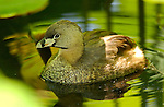 Pied-Billed Grebe, Breeding Plumage, Echo Park Lake, Southern California