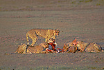 Cheetah Family on early morning kill, Serengeti NP