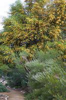 Acacia viscidula, shrub with lacey foliage and Acacia saligna (Western Australian golden wattle) small flowering tree, summer-dry shrubs at Australian Native Plant Nursery, Ventura, California