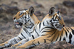 India, Bandhavgarh National Park, Bengal tigress (back) and 11 months old male cub , late afternoon, dry season