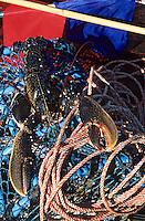 Europe/France/Bretagne/56/Morbihan/Golfe du Morbihan: Pêche aux homards - Homards reposant sur des filets