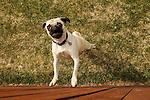 Pug jumping up and barking.