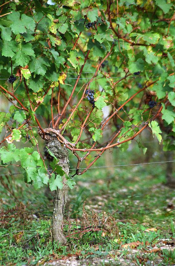 Guyot pruned vines in the vineyard. Chateau Beauregard. Pomerol, Bordeaux, France