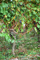 Guyot pruned vines in the vineyard. Chateau Beauregard. Pomerol, Bordeaux, France
