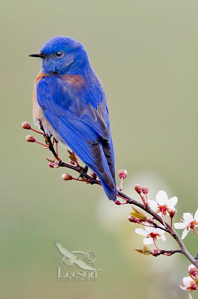 Male Western Bluebird (Sialia mexicana).   Columbia River Gorge National Scenic Area, Washington-Oregon.<br /> Early Spring.