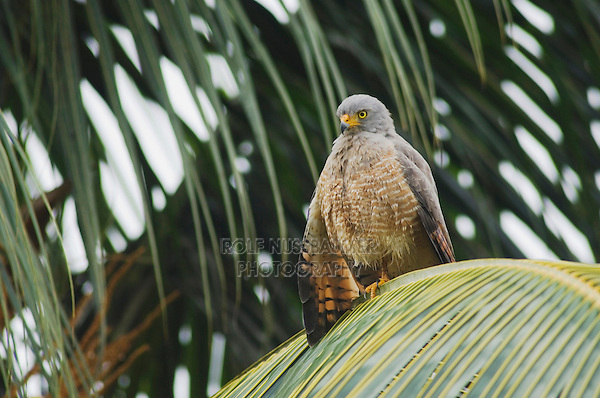 Roadside Hawk, Buteo magnirostris, adult perched on palm frond, Central Pacific Coast, Costa Rica, Central America, December 2006