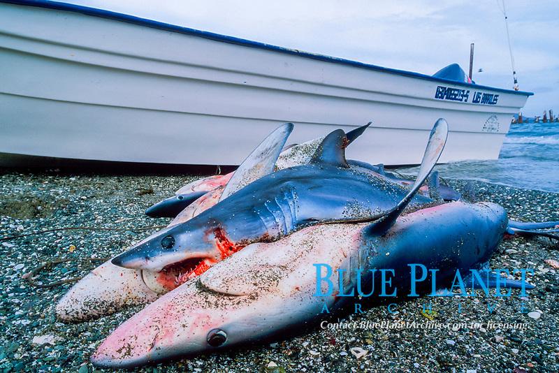 Shark finning camp, blue shark, Prionace glauca, and mako shark, Isurus oxyrinchus, Magdalena Bay, Baja California, Mexico, Pacific Ocean
