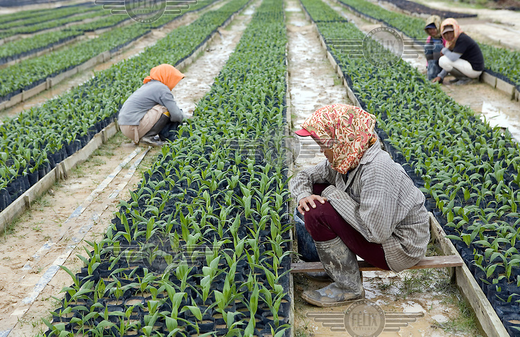 Workers carefully tend to newly planted palm oil shoots at a nursery in the Duta Palma plantation. .