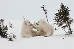 Emerging from the darkness of their birthing den only 72 hours earlier, these two young polar bear cubs explore their new world on unsteady legs: clumsily running and wrestling in the soft snow, these siblings' antics turn into a game of patty-cake in Manitoba, Canada.