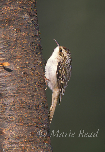 Brown Creeper (Certhia americana) clinging to a tree trunk, New York, USA<br /> Slide # B124-57