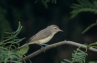 Warbling Vireo, Vireo gilvus,adult, South Padre Island, Texas, USA