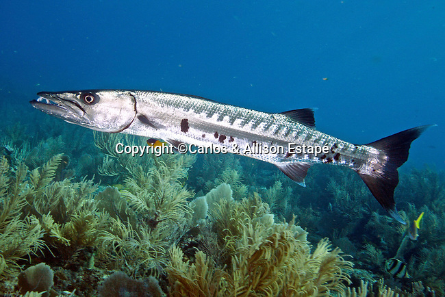 Sphyraena barracuda, Great barracuda, Florida Keys
