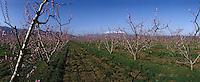 Europe/France/Languedoc-Roussillon/66/Pyrénées-Orientales/Vallespir/Env de Céret: Vergers en Fleurs en fond le Mont Canigou