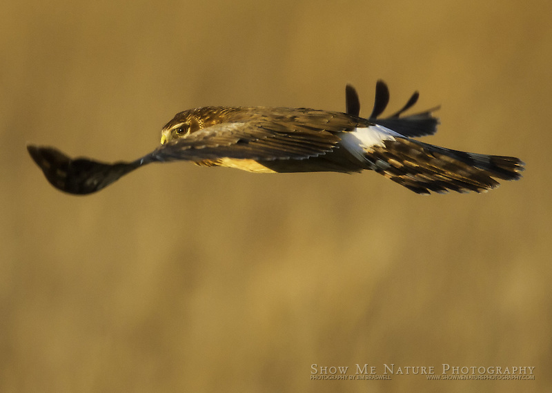 Northern Harrier female, hunting over dry marsh