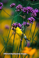 01640-121.15 American Goldfinch (Carduelis tristis) male on Brazilian Verbena (Verbena bonariensis) in garden Marion Co. IL