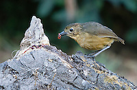 Tawny Antpitta, Grallaria quitensis, eating worms at a feeder near Quito, Ecuador